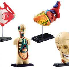 Žmogaus anatomijos modeliai su stovais